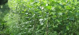 energiepflanzen-miscanthus